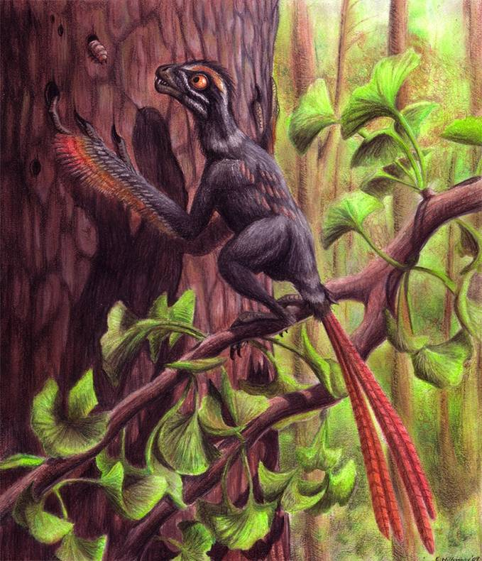Epidexipteryx Name: »display wing« Length: 30 cm Height: 13 cm Weight: 160 g Diet: omnivore Time: Jurassic (168-152 MYA) Location: Asia (China)
