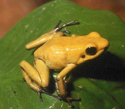 golden poison dart frog dapat membunuh 10 orang atau sebanding dengan 20.000 tikus.hanya dengan 2 mikro gram racunnya dapat membunuh orang ataupun mamalia besar lain. racun dari kodok ini berada di kulitnya