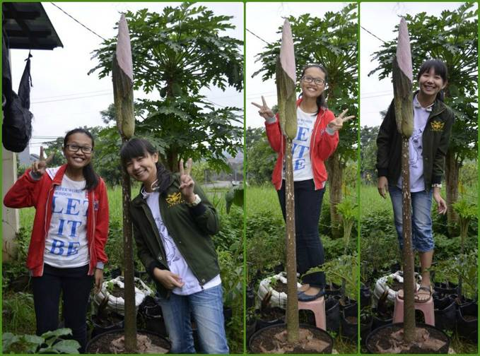 Amorphophallus before blooming... Finally, after 4 years we can see and take a photo with it directly..