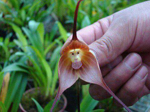 THE MONKEY ORCHID LOOKS LIKE A MONKEY! This is the rare Monkey Orchid, found only in high elevations of Ecuador and Peru. The primate-esque flowers are formally known as Dracula simia.