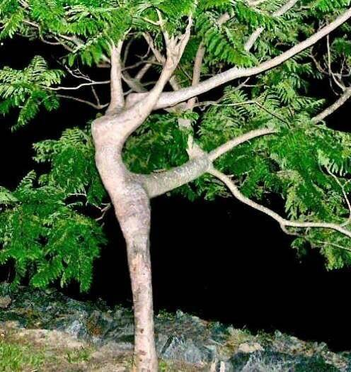 you can see the dancing tree? WOW if you see!