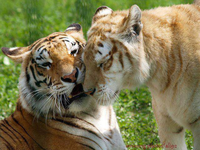 Golden Tabby Tiger, There are currently believed to be fewer than 12 of these rare tigers in the world.