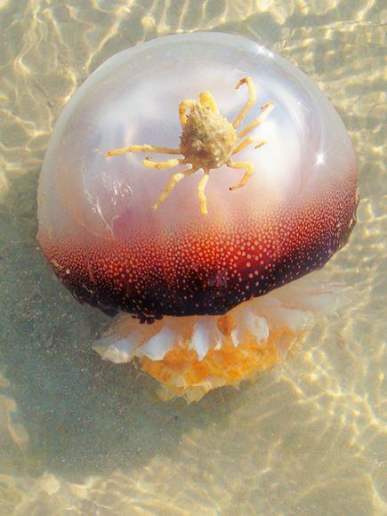 foto langka seekor ubur ubur mengatar kepiting,hewan aja saling membantu kenapa manusia tidak??