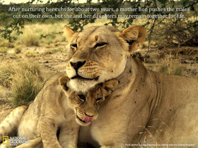 after nurturing her cubs for about two years, a mother lion pushes the males out on their own, but she and her daughters may remain together for life. click wow. please,.