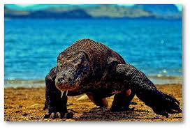 Hewan PURBA sejenis kadal yang masih ada di Dunia ya KOMODO. #klik WOWnya.