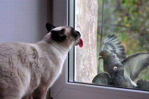Caught my cat licking the window as if he could taste the pigeons.