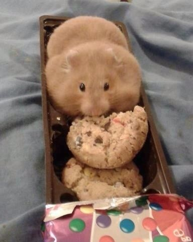 hamster eat a cookies