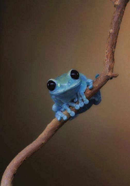 Baby Blue Tree Frog