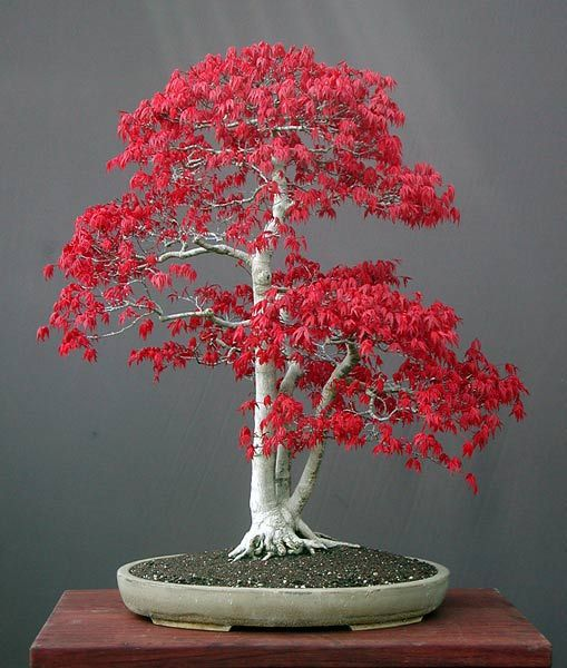 Bonsai Tree Beautiful and Elegant For Ornamental plants at home http://www.creativehozz.com/2014/06/bonsai-tree-beautiful-and-elegant-for.html