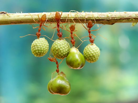 Menakjubkan, Kerjasama antar mahluk hidup tersebut, masak kita yang lebih sempurnah malah kalah oleh semut Di foto oleh: Eko Adiyanto (Jawa Timur)
