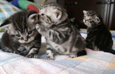 Kucing paling belakang : #AkuRapopo.. Wkwkwkwk :3