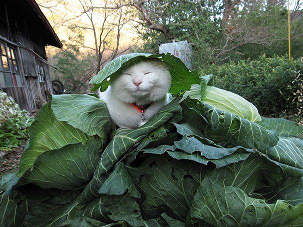 Kucing ini memiliki ekspresi senang tapi selalu tampak mengantuk