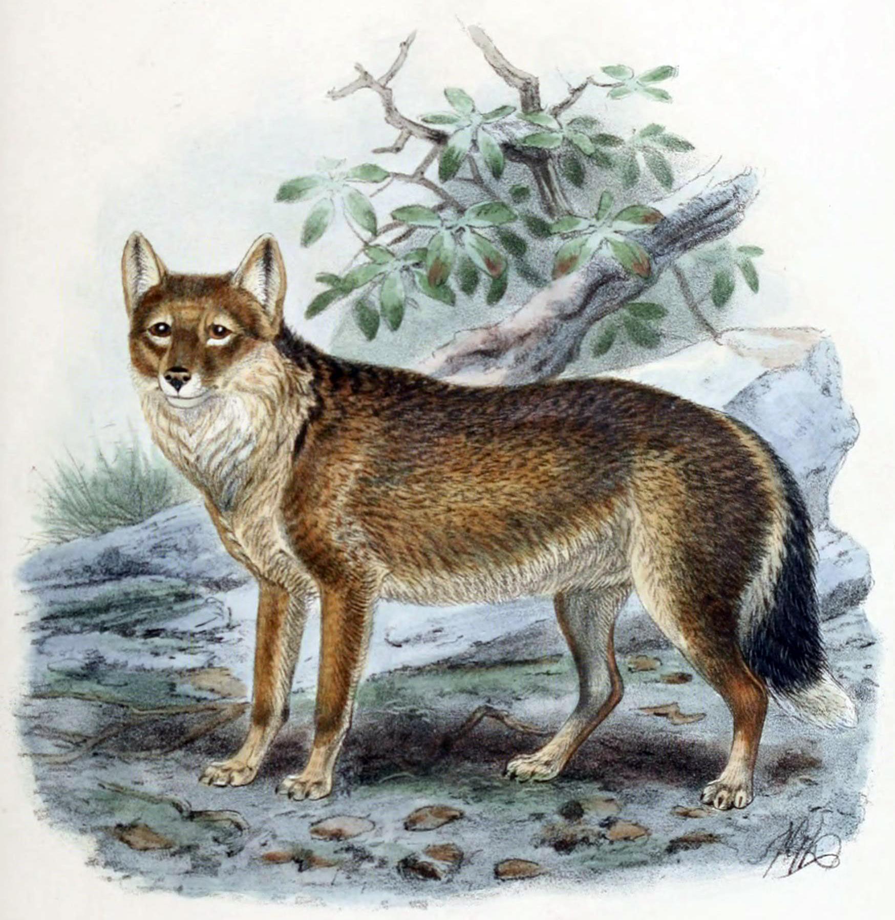 Di kepulauan Falkland atau Malvinas, ada serigala endemik ini pulsker. Letak pulau Falkland sangat terpencil, 500 km sebelah timur Argentina. Satwa yang terakhir mati di alam liar ditemukan pada 1876. Lalu, pada tahun 1868 dan 1870 dua serigala terakhir ini dibawa ke kebun binatang Inggris. Keduanya mati beberapa tahun kemudian. Kasihan ya pulsker?.