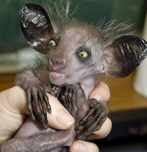 Hewan seperti makhluk jadi-jadian ini namanya Aye-aye pulsker yang merupakan hewan endemik di madagaskar. Biasa ditemukan di hutan dengan ketinggan 700 mdpl. Hewan ini punya jari-jari tipis dan panjang serta jari tengah yang lebih panjang dibandingkan jari-jari lain. Jari tengah ini dipergunakan untuk mencari dan mengambil larva dari rongga kayu. Masyarakat Madagaskar menganggap aye-aye sebagai hewan pembawa pertanda buruk sehingga sering memburunya.