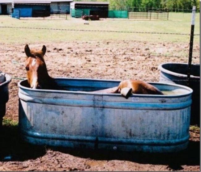 Si kuda lagi berendam di peternakannya karena cuaca panas guys.