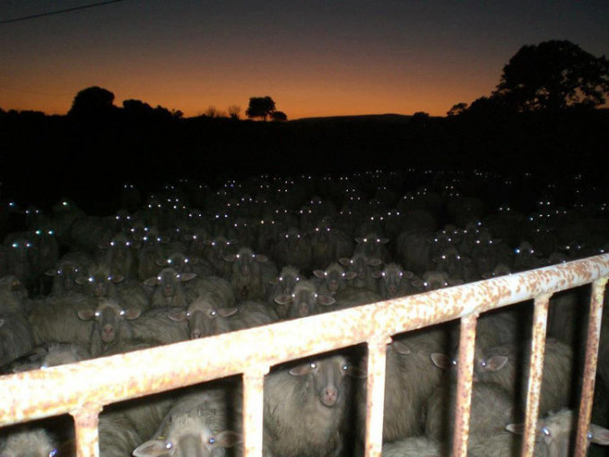 Gerombolan kambing di peternakan ini nampak seperti zombie kalau matanya menyala di kegelapan. Hmm, serem juga ya Pulsker foto-fotonya apalagi ngeliatnya di kamar sendirian pas malam hari. Pasti makin berasa horornya.