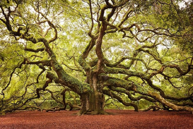 Pohon Oak Carolina Selatan
