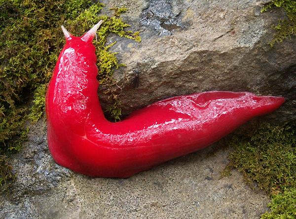 Sama halnya dengan siput tanpa cangkang berwarna merah, nampak kenyal seperti agar-agar siap makan.