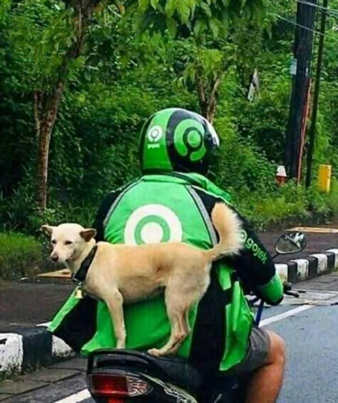 Anjing juga bisa ternyata dikirim dengan menggunakan ojol. Tapi bisa anteng banget ya.